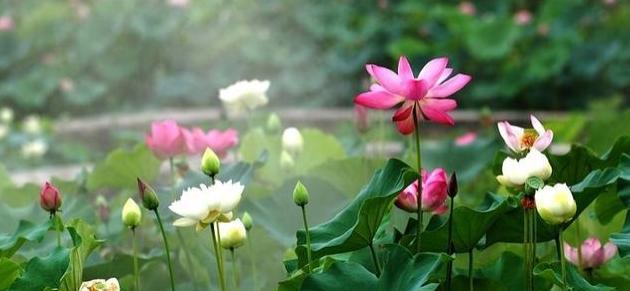 《爱莲说》的唯美英语翻译:Love of Water-Lily