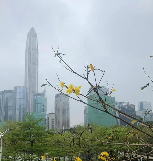 不与百花争艳后,只为新绿添鹅黄~咏黄花风铃木
