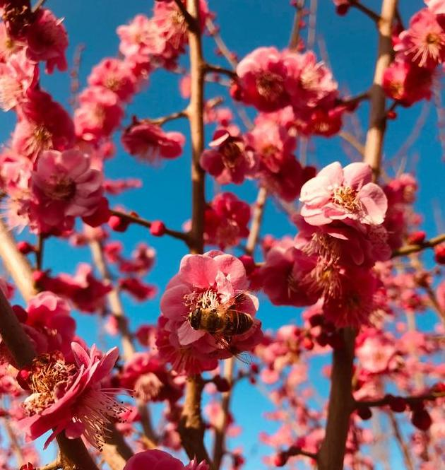 最是一年春好处,梅花浪漫满长安
