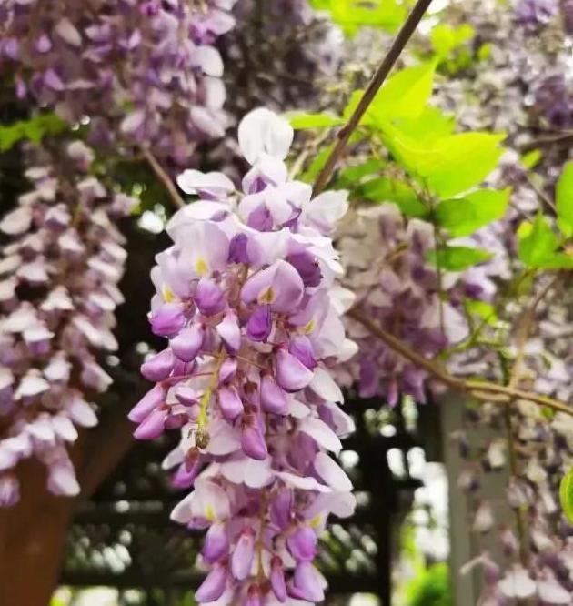 美文欣赏 紫藤芬芳的四月