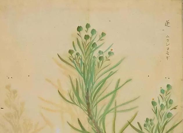 唯美《诗经》,没想到里面的植物也这么美,有人画出来了