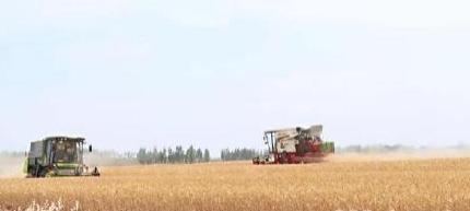 风吹麦浪丰收景,乡村田野遍地黄