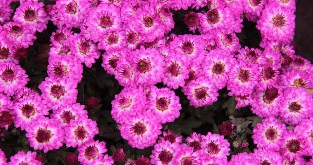 QQ\\朋友圈关于菊花的唯美说说 秋天赏菊花的心情说说句子