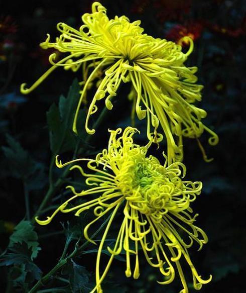 一花一世界,一叶一菩提——奇花异草独本菊,花语文化栽培技术