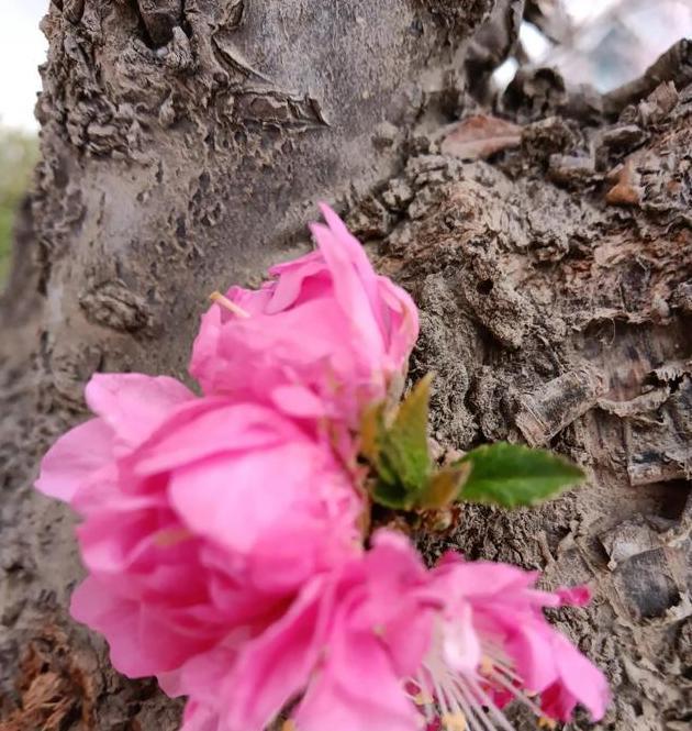 旺盛的生命力,花开枯树。